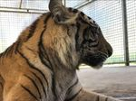 Ahli Bicara Kemungkinan Sebab Obesitas Harimau Bonita