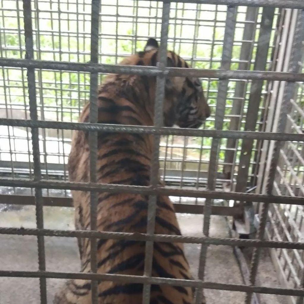 Begini Rupa Harimau Bonita yang Bikin Heboh