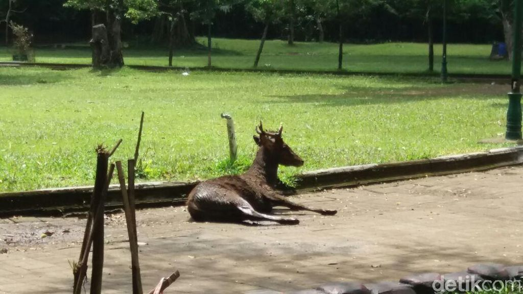 Sedang Berahi, Rusa di Taman Balekambang Solo Serang Pengunjung