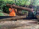 30 Batang Pohon Hasil Pembalakan Liar Ditemukan di Tahura R Soerjo