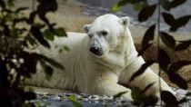 Sedih! Beruang Kutub Kesayangan Singapura Disuntik Mati