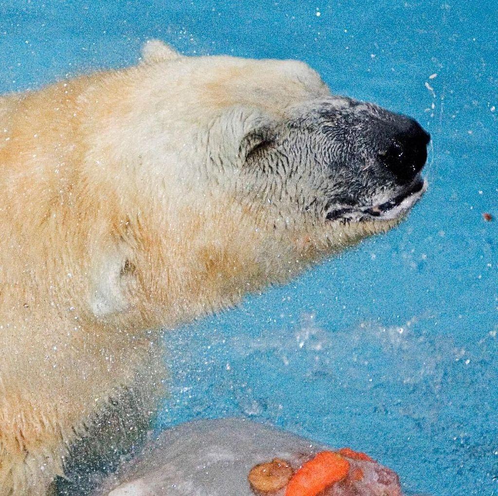 Ini Inuka, Beruang Kutub Kesayangan Singapura yang Disuntik Mati