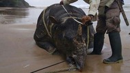 Misteri Penyebab Kematian Badak Jawa di Pantai Ujung Kulon