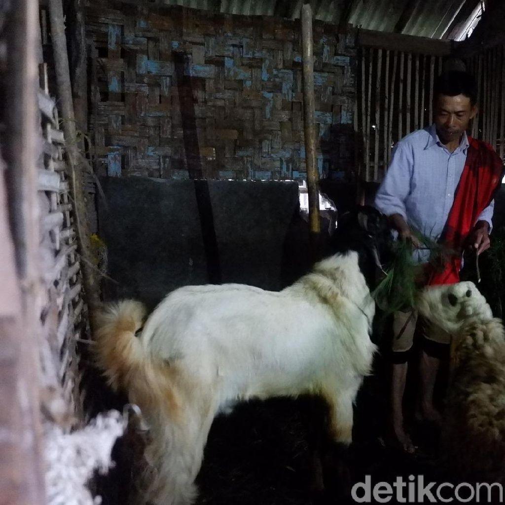 Bingung Merawat, Hewan Ternak Milik Korban Gempa Dijual Murah