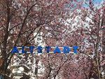 Pohon Sakura di Altstadt Bonn Diancam Akan Diracun