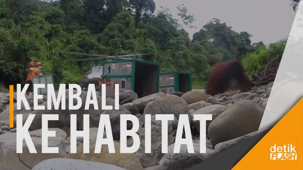 Yayasan BOS Lepasliarkan 8 Orangutan ke Hutan Bukit Batikap