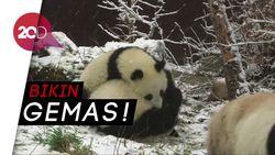 Panda-panda Berpelukan di Salju, Lucu Banget!