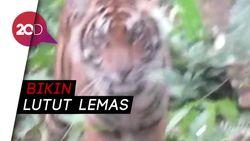 Ngeri! Harimau Pemangsa Jumiati Mendadak Muncul