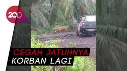 Harimau Bonita Kembali Makan Korban, DPR akan Panggil KLHK