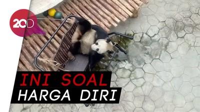 Ternyata Panda Juga Jaim dan Punya Malu Loh