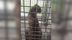 Kondisi Harimau Bonita yang Telah Ditangkap