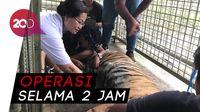 Harimau Bonita Jalani Operasi Angkat Tumor
