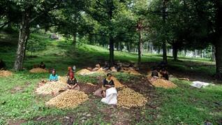 Pemerintah Siapkan Rp104 Triliun untuk Remajakan Kebun Rakyat