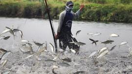 KKP: Ikan Dori Ilegal Mengandung Unsur Pemutih di Luar Batas