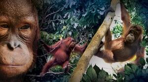 Selamatkan Orangutan!