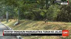Monyet Margasatwa Mencari Makan di Pemukiman