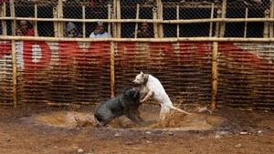 FOTO: Mengadu Anjing dan Babi Hutan di Pedalaman Sunda