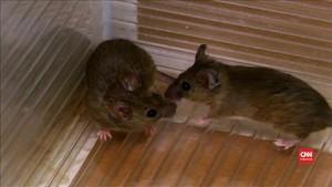 VIDEO: Seperti Burung, Tikus Pun Bisa 'Bernyanyi'