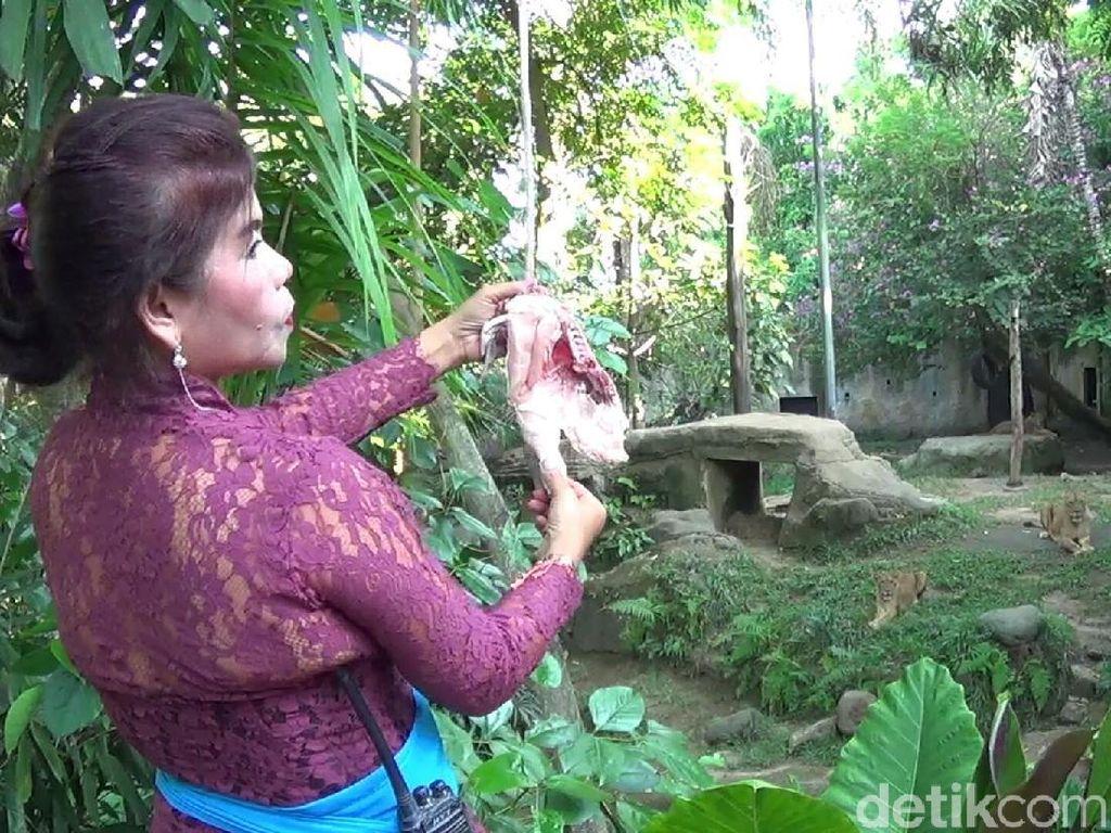 Foto: Para 'Kartini' Pemberi Makan Binatang Buas di Bali