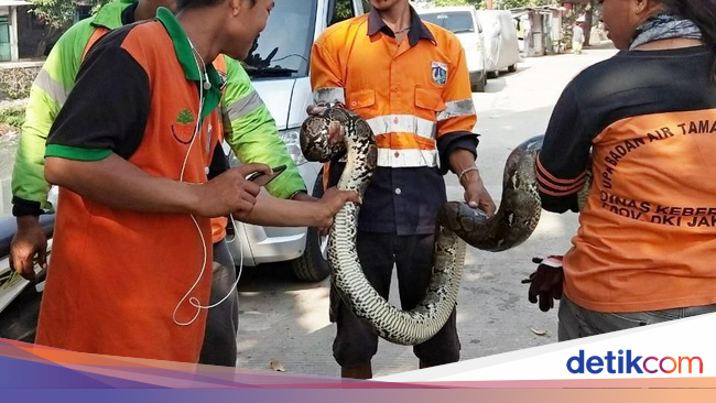 Ular Sanca Kembang 3 Meter Muncul di Kali Cipinang Lontar ...