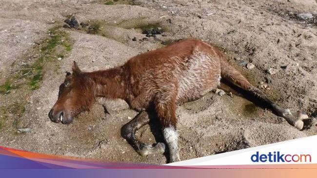 Banyak Kuda Liar Mati Di Taman Nasional Australia Akibat Kekeringan