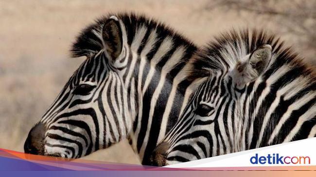 Duo Zebra Kabur dari Kandang, Bikin Kaget Orang di Jalan