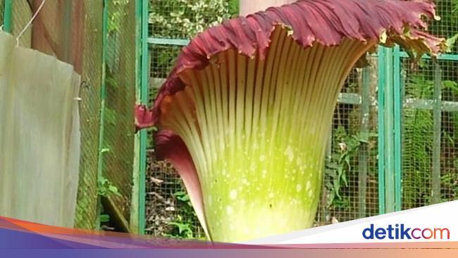 Bunga Bangkai Kembali Mekar Di Kebun Raya Cibodas