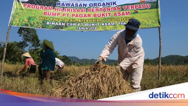 PTBA Bukit Asam Bantu Petani Desa Pagar Dewa Kembangkan Beras Organik