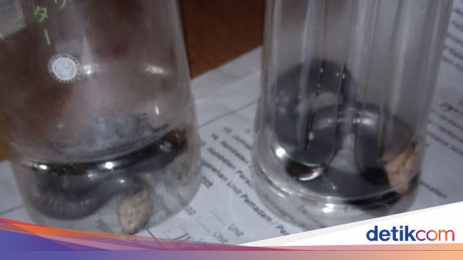 Ramai Teror Ular Kobra, Dokter Imbau Jangan Mudah Percaya Hoax Antivenom