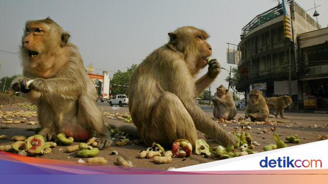 Gambar Monyet Bawa Pisang Minim Wisatawan Monyet Monyet Ini Menggila Di Jalanan