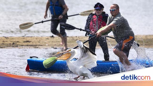 Momen Petugas Evakuasi Pelikan yang Terluka