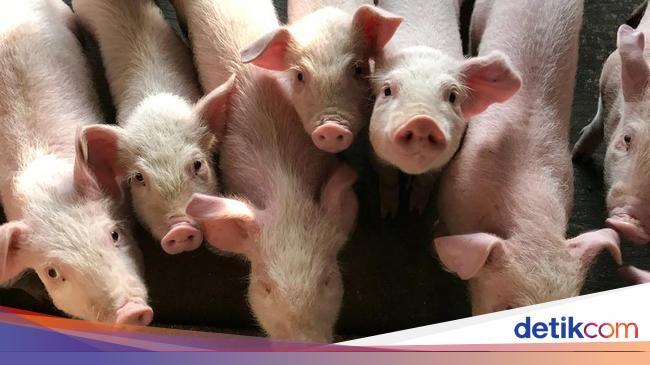 Sejumlah Pakar Anggap Virus Flu Babi G4 Tak Mengkh