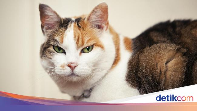 Bulu Kucing Penyebab Penyakit Asma Mitos Atau Fakta
