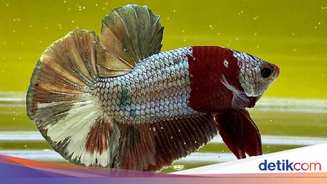 5 Cara Merawat Ikan Cupang Agar Tidak Mudah Mati Dari Dosen Ipb