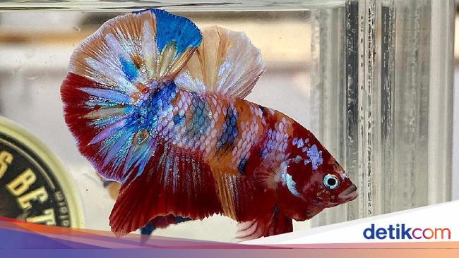 Ini 7 Jenis Ikan Cupang Yang Banyak Dipelihara Di Indonesia
