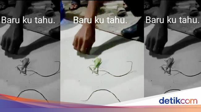 Video Cacing Parasit di TikTok, Bikin Inangnya Jad