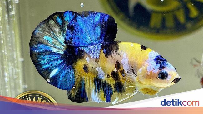 ikan cupang 1 169