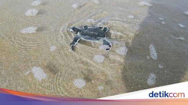 Saat Tukik-tukik Lucu Dilepas di Pantai Sukamade Banyuwangi