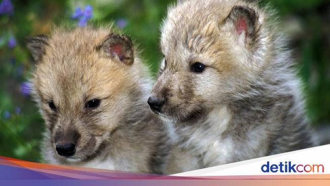 Sedih, Anak-anak Serigala Diadopsi Siswa Malah Dieksekusi Petugas