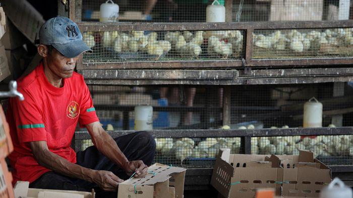 Ilustrasi Bibit Ayam/Foto: Rengga Sancaya