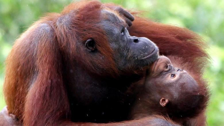Rehabilitasi Orangutan Samboja Lestari (Rengga Sancaya/detikcom)