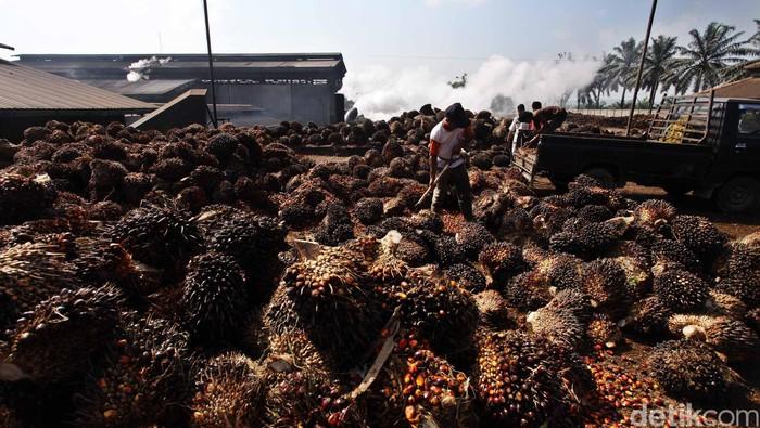 Pekerja melakukan bongkar muat kelapa sawit yang akan diolah menjadi minyak kelapa sawit Crude palem Oil (CPO) dan kernel di pabrik kelapa sawit Kertajaya, Malingping, Banten, Selasa (19/6). Dalam sehari pabrik tersebut mampu menghasilkan sekitar 160 ton minyak mentah kelapa sawit. File/detikFoto.