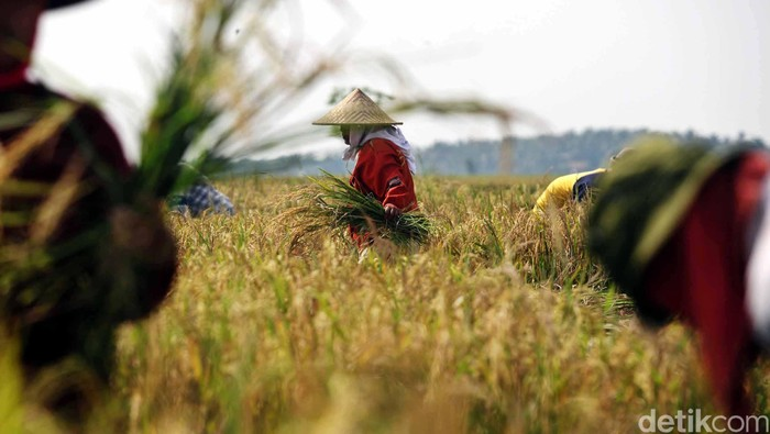 Petani memanen padinya di kawasan Suka Tenang, Babelan, Bekasi, Jawa Barat, Rabu (9/5/12). File/detikFoto.