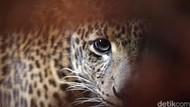 Foto Kamuflase Macan Tutul Bikin Netizen Penasaran, Bisa Menebaknya?