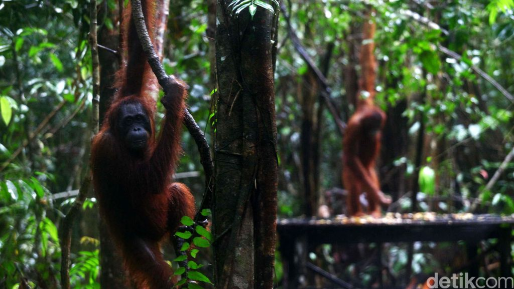 Jadi Destinasi Kelas Dunia, Tanjung Puting Layak Jadi Bali Baru