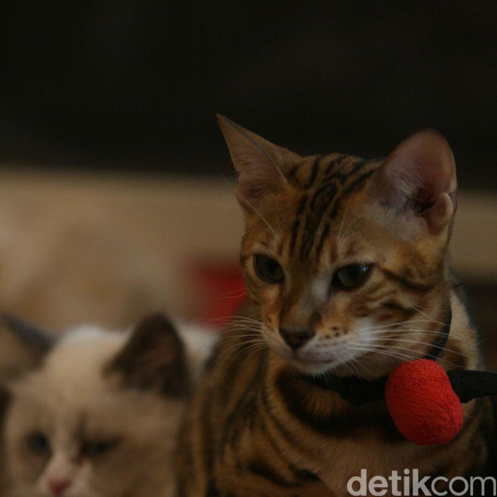 Karena Mitos, Pengendara Takut Tabrak Kucing di Jalanan