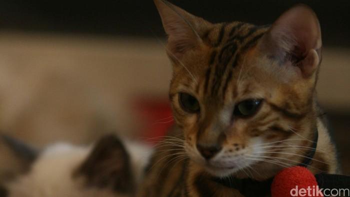 Mentah ataupun matang, daging kucing ternyata tak dianjurkan untuk dikonsumsi (Foto: Agung Pambudhy)