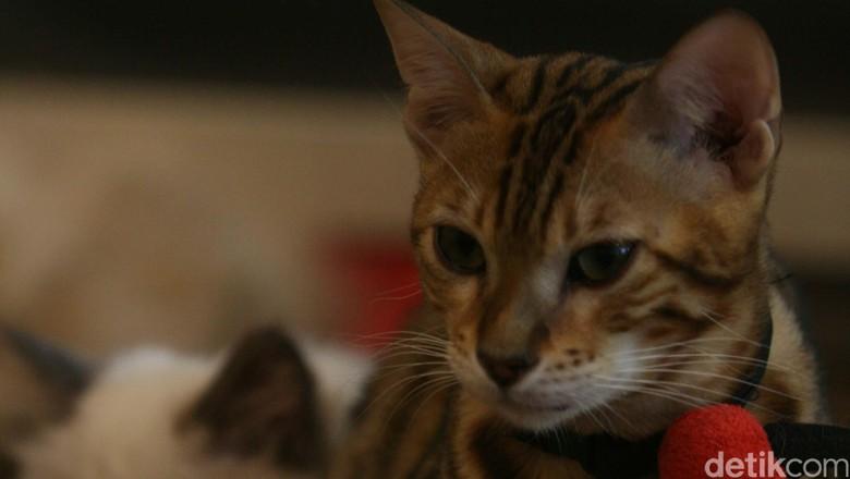 Ilustrasi kucing Foto: Agung Pambudhy