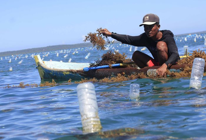 Produksi Rumput Laut Nelayan Turun karena Tumpahan Minyak Montara / Foto: ANTARA FOTO/Kornelis Kaha
