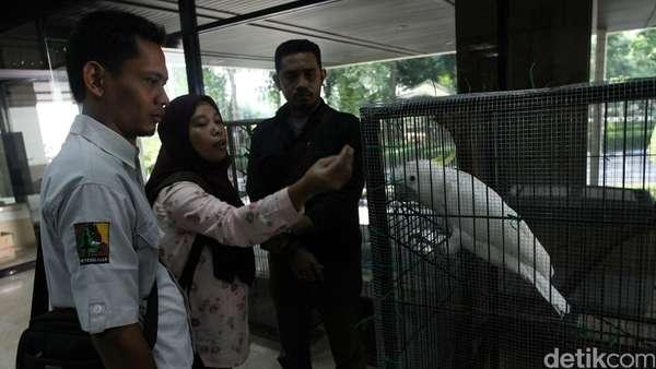 Cerita Menteri Siti yang Sukses Menyelamatkan Kakatua Jambul Kuning